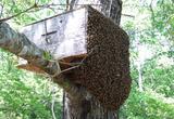 Ein Bienenschwarm zieht in eine Lockbeute ein.