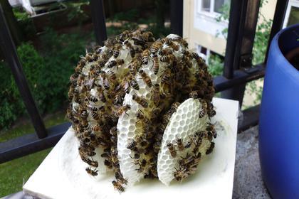 K nigin im blumentopf mellifera e v for Blumentopf kleine fliegen